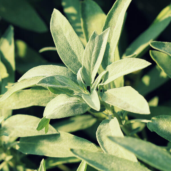 Salvia Officinalis (Sage) Leaf Extract*