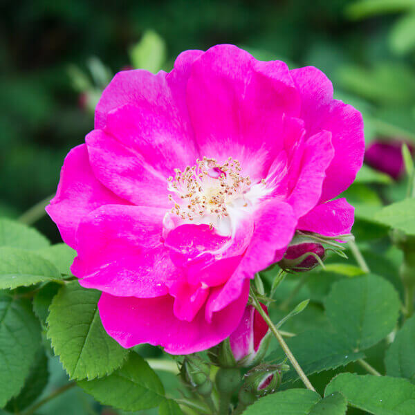 Rosa Gallica (French rose) Flower Extract*