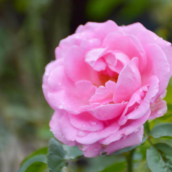 Rosa Damascena (Damask rose) Flower Oil**
