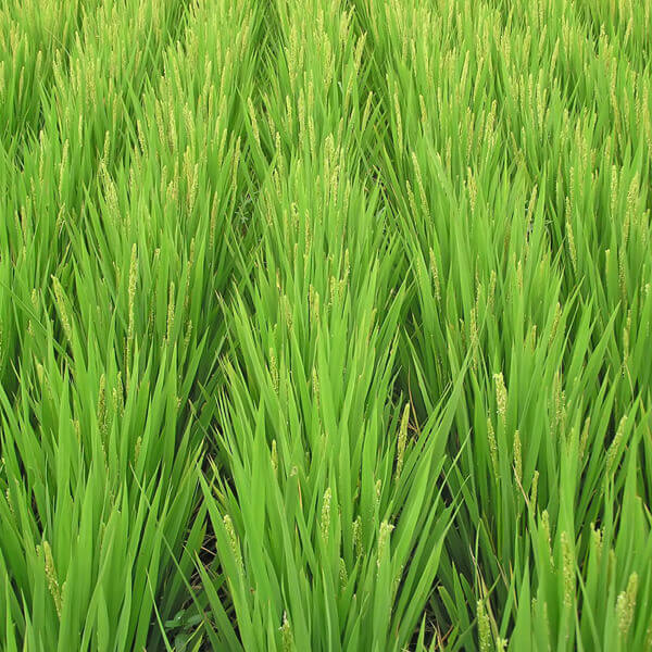Oryza Sativa (Rice) Starch*