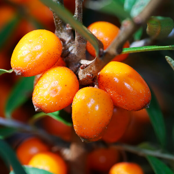 Hippophae Rhamnoides (Sea buckthorn) Fruit Extract*