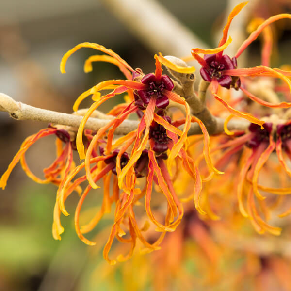 Hamamelis Virginiana (Witch hazel) Leaf Extract*