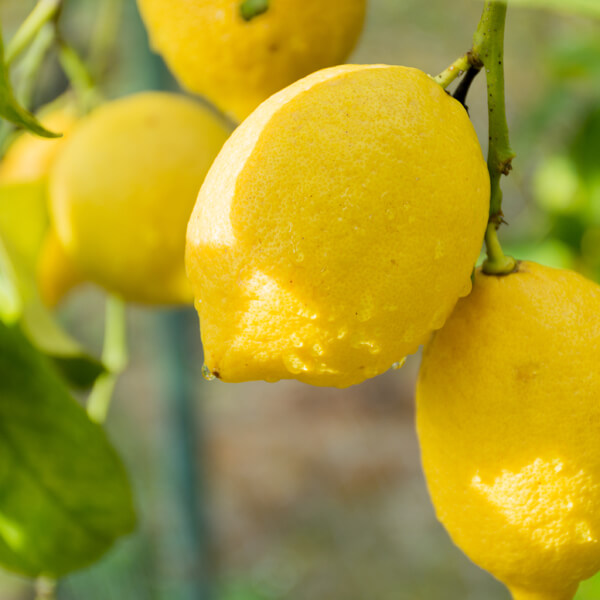 Citrus Limon (Lemon) Peel Extract*